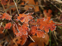 Ice covered oak leaves Stock Images