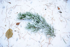 Ice-covered pine branch on the snow in forest. Ice-covered pine branch on the snow covered by fallen needles Royalty Free Stock Image