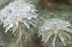 Ice covered pine needles in winter storm Stock Photo
