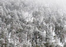 Ice covered pine trees in Central Spain Royalty Free Stock Photography