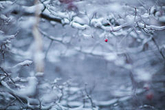 Ice-covered tree. Ice-covered branches and one small red berry Royalty Free Stock Image
