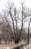 Ice covered tree in a bogle against a cold, grey winter sky. Leafless oak, cold January day in New royalty free stock image