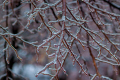 Ice-covered tree branches. Royalty Free Stock Photography