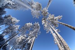 Ice Covered Trees. Looking skyward at a cluster of towering ice covered trees Royalty Free Stock Image