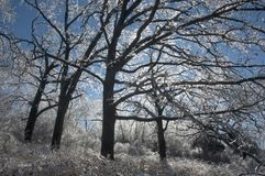 Ice covered trees royalty free stock image