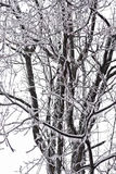 Ice Covered Walnut Tree Royalty Free Stock Photos