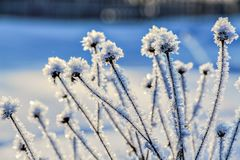 Ice Covered Wildflowers On A Blurred Background. Royalty Free Stock Image