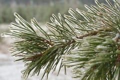 Ice-covered Zweige der Kiefer lizenzfreies stockbild