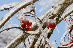 Ice covering the berries and branches of the Mountain Ash tree, Sorbus Aucuparia, detail. Royalty Free Stock Photo