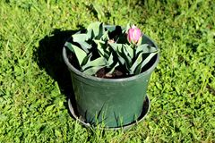 Ice cream tulip plants planted in small plastic green flower pot in local garden starting to open and bloom with pointy dark green. Leaves and emerging flowers royalty free stock images