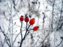 Ice crystals on. Winter ice crystals on frozen dog-rose branch closeup outdoor at winter Stock Photos
