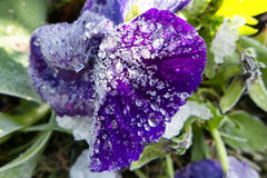Ice crystals on flower Stock Image