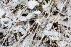 Snow crust on shrubbery Stock Photos