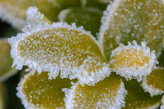 Ice crystals forming on green leaves Stock Image