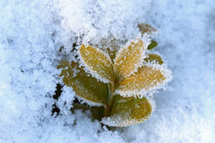 Ice crystals forming on green leaves Stock Photos
