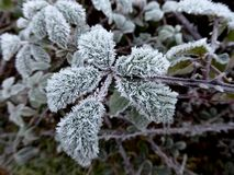 Ice crystals on frosted leaf. Ice crystals forming on a leaf in a hedgerow in the winter in England Royalty Free Stock Image