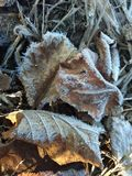 Ice crystals on autumn leaves stock photography