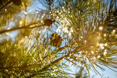 Ice crystals pine tree & pine nuts Royalty Free Stock Images