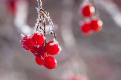 Ice crystals on the red berries Royalty Free Stock Photos