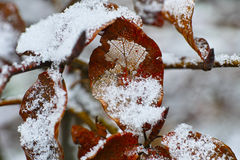 Snow crust on withered leaf Royalty Free Stock Photo