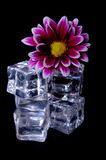 Ice Cubes and Flower Stock Photography