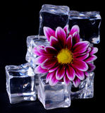 Ice Cubes and Flower Stock Photos