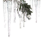 Ice cycles and ice covered branch. Ice-cycles and ice covered branch isolated on white background Stock Image