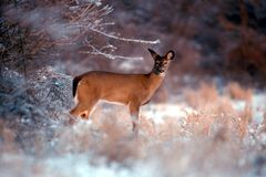 Ice doe. This whitetail doe stands alert along a fields edge covered in ice stock photos