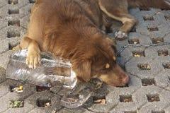 Ice dog royalty free stock photo