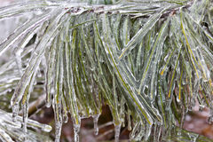 Ice Draped Evergreen Needles Royalty Free Stock Image
