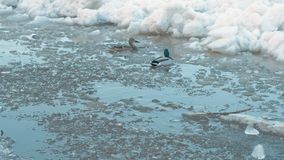 Ice drift on the river. Moving ice floes close up. Ducks on river. Ice drift on the river. Moving ice floes close up. Ducks on river stock video footage