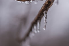 Ice dripping from limb Stock Image