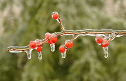 Ice-encased berries of winterberry Royalty Free Stock Image