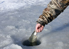 Ice fishing. Crappie caught ice fishing being released back into the whole Stock Photo