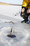 Ice Fishing. Man ice fishing for the perch fish Royalty Free Stock Images