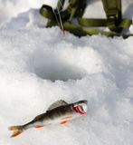 Ice fishing. Fish lying in front of hole in ice Royalty Free Stock Image