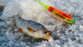 Ice fishing, catch and tackle. Ice fishing caught fish on a background of fishing rods Royalty Free Stock Images