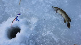Ice fishing for Esox Lucious. Big winter pike caught on rattle bait. Fish pike. Trophy of ice fishing. Fish on snow stock video footage