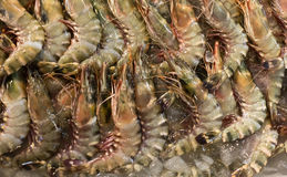 Ice fishing in fresh tiger prawns. Royalty Free Stock Photo