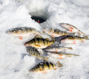 Ice fishing perch stock photo
