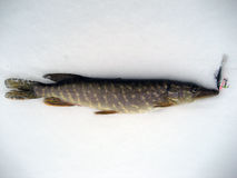 Ice fishing on the pike Royalty Free Stock Images