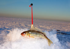 Ice fishing rod and ruff. Winter fishing: closeup of ice hole, fishing rod and ruff Stock Image