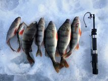 Ice fishing. Winter fishing. Catching a fish Stock Photos