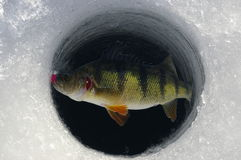 Ice Fishing Yellow Perch. A yellow perch caught on a jig is brought up through the ice while fishing during winter royalty free stock image