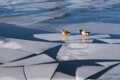 Ice Floe Travellers Royalty Free Stock Photos