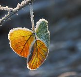 Ice flower. A bramble leaf in autumn colours with a frost covering Royalty Free Stock Photography