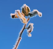 An ice-flower Stock Image