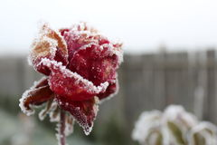 Ice Flower. Keep going, even in bed times stock photos