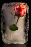 Ice Flower. A rose frozen in a block of ice Stock Images