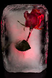 Ice Flower. A rose frozen in a block of ice Royalty Free Stock Photography